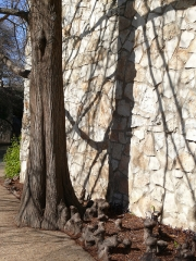 tree-at-the-alamo