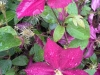 Clematis with rain droplets