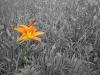 Spot color shot Tiger Lily flower