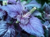 purple leaves and flower