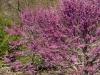 purple-tree