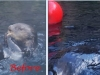 photo editing of sea otter at play