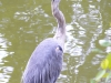 blue heron on lake
