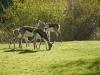 antelope grazing