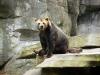 Wondering bear