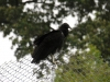 black vulture on fence