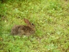 brown rabbit in grass
